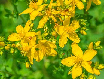 utsu-cent-johnswort
